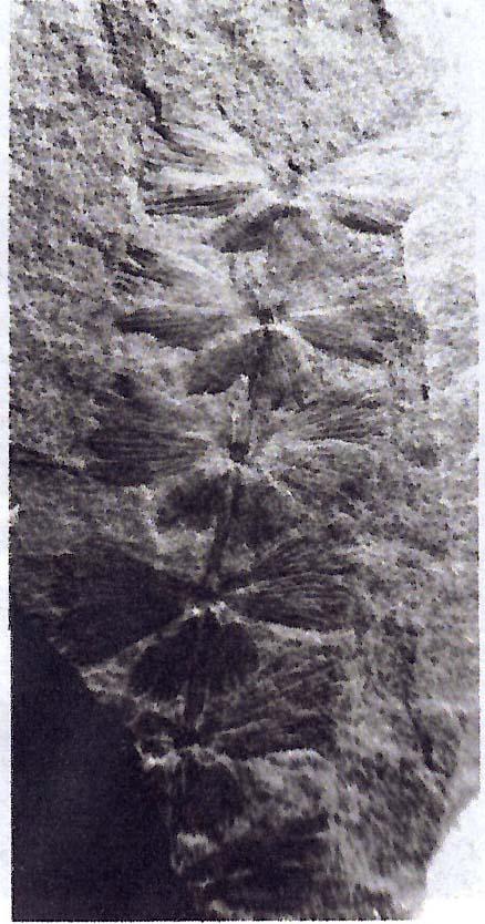 Anularia