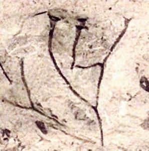 Cooksonia