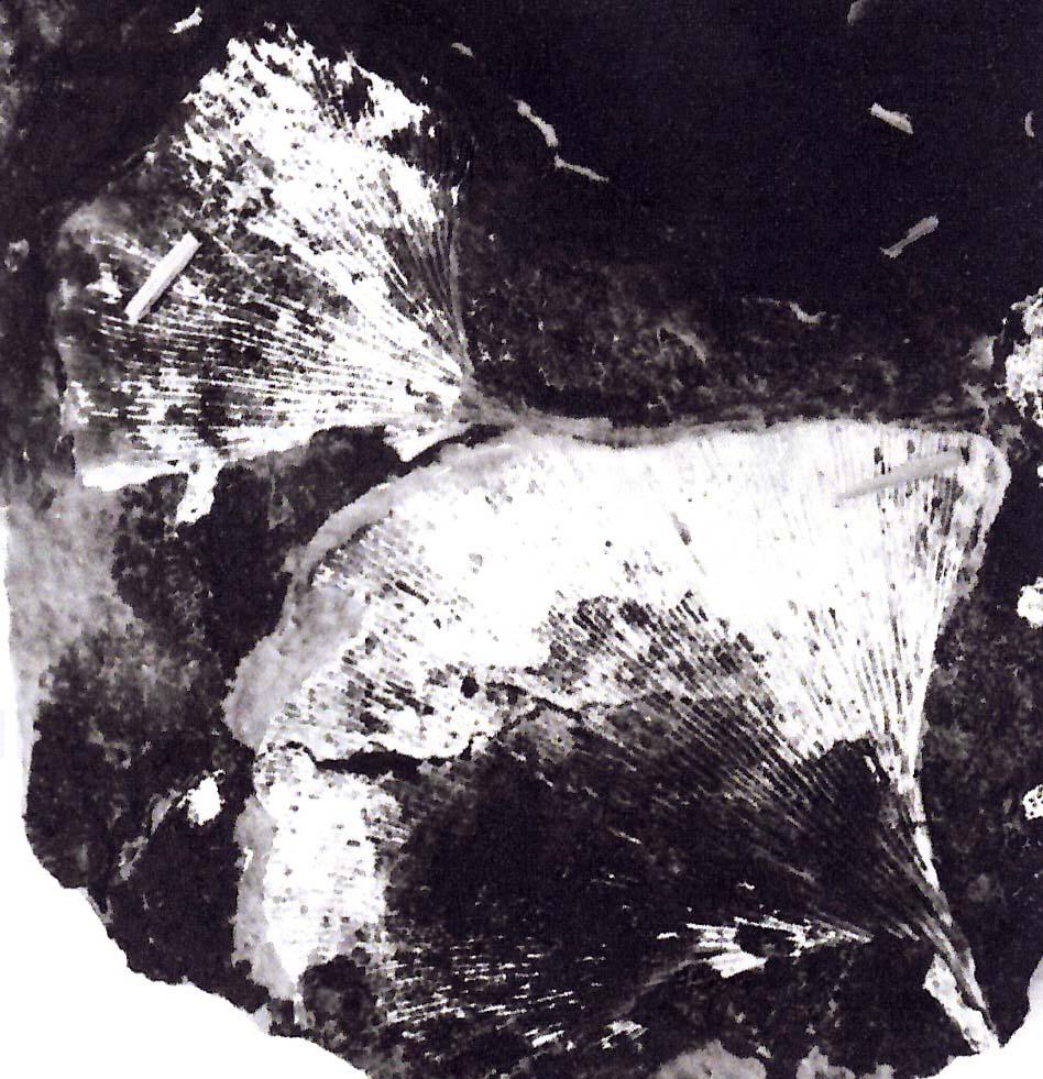 Ginkgo-fossil