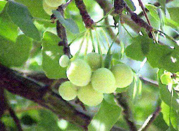 Ginkgo-fruit