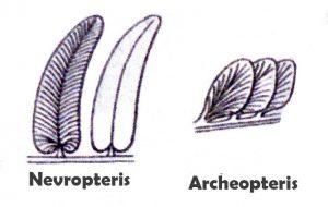 Nevropteris