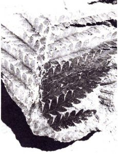 Odontoptéris