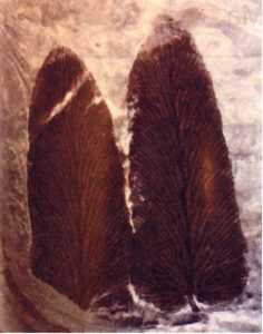 Shenopteris