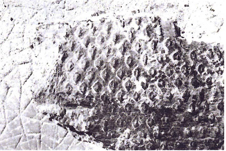 Sigillaire-cannelé