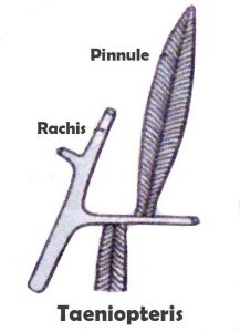Taenopteris